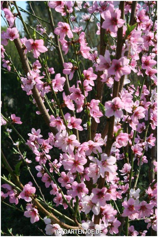 Blüte vom Kolonistenpfirsich