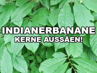 Indianerbanane aus Samen
