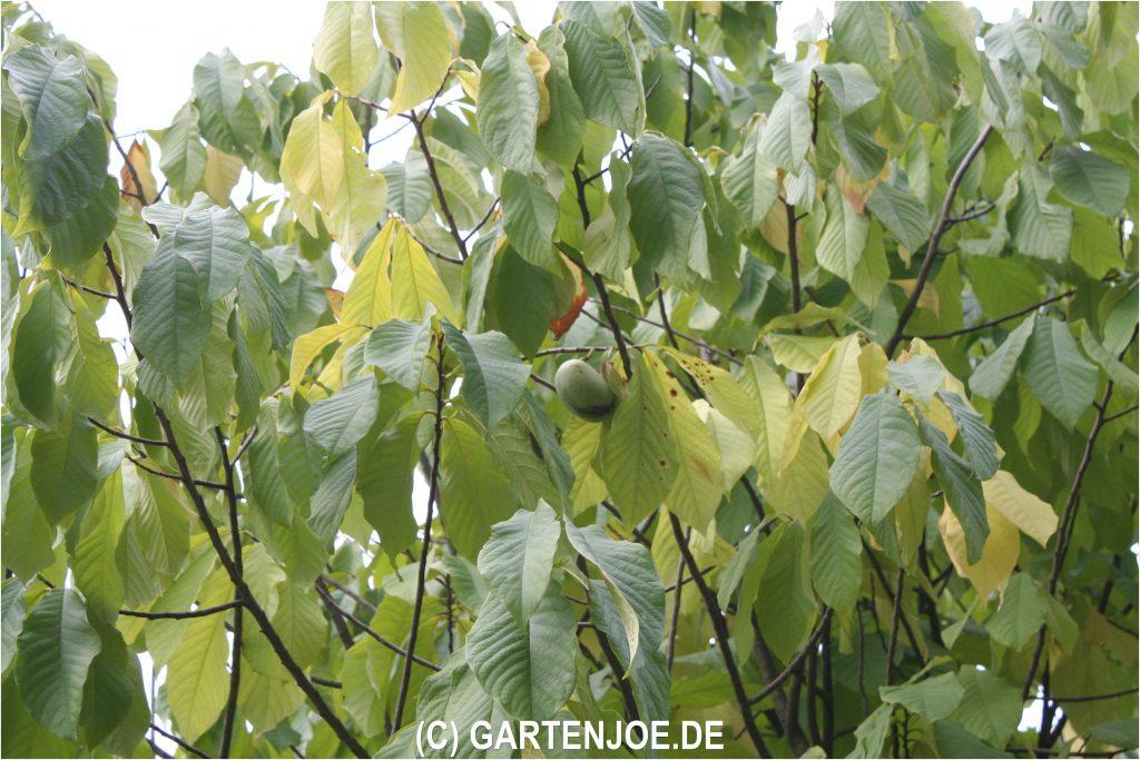 Die schönen Blätter der Pawpaw