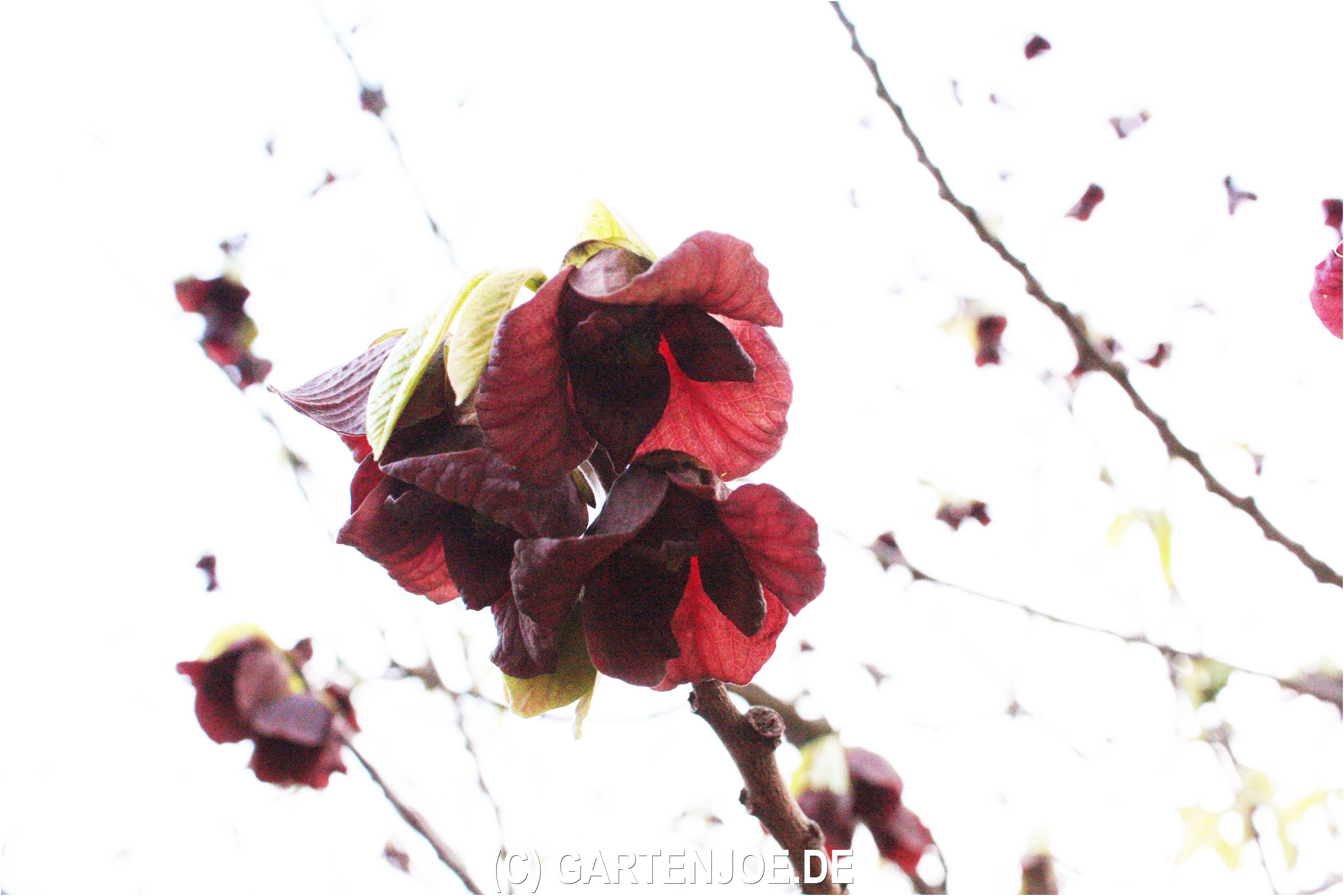 Die Indianerbanane zeigt ihre schönen Blüten