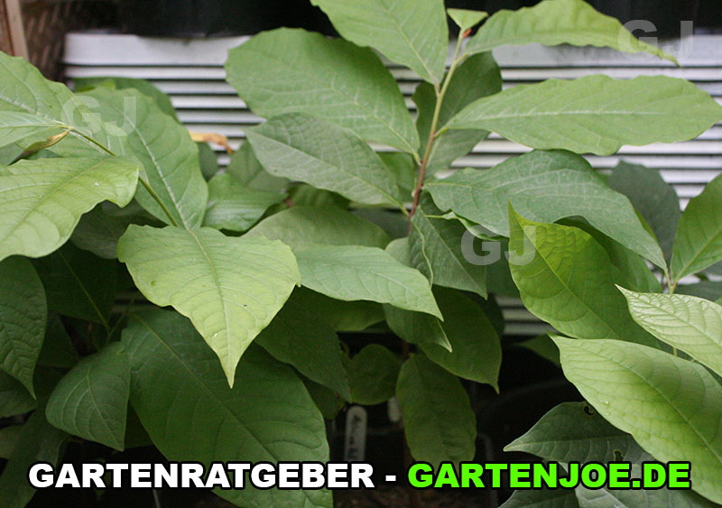 indianerbanane-junge-pflanze