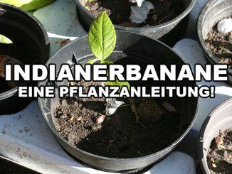 Pflanzanleitung einer Indianerbanane
