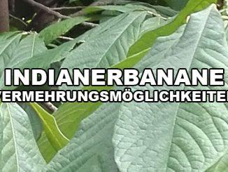 Eine Indianerbanane vermehren