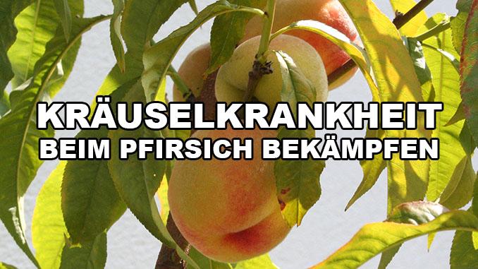 Pfirischbaum Kräuselkrankheit mit Essig bekämpfen