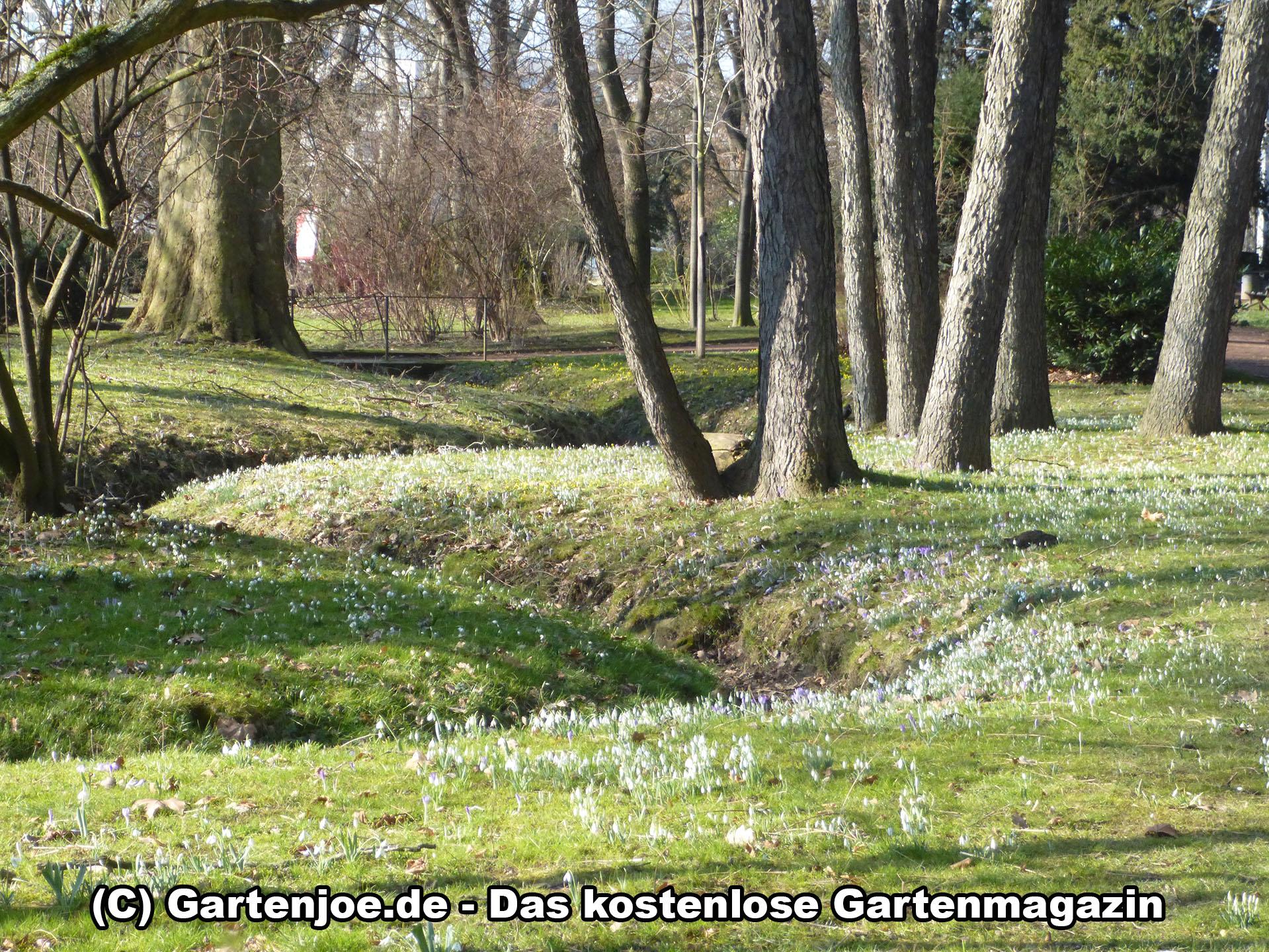 Krokuswiese im Großen Garten