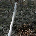 Obstbäume Weißanstrich kalken