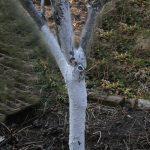 Obstbäume mit Kalkfarbe streichen