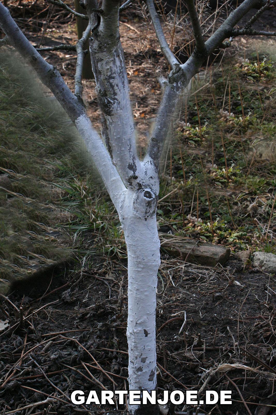 Obstbaume Mit Kalkfarbe Streichen Gartenratgeber Kostenlos