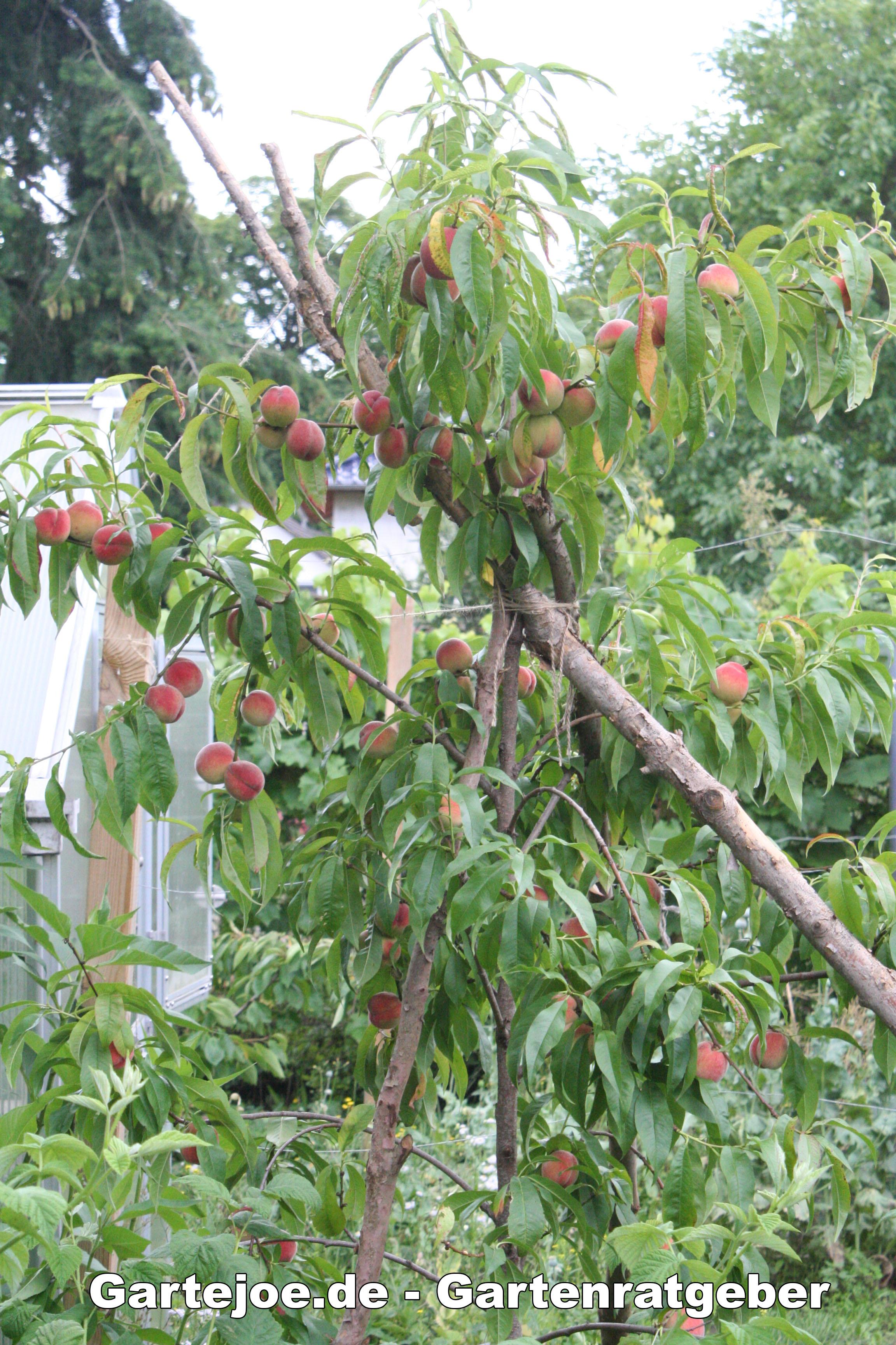 Reife Pfirsiche am Baum