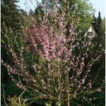 Pfirsichblüte vom Kolonistenpfirsich