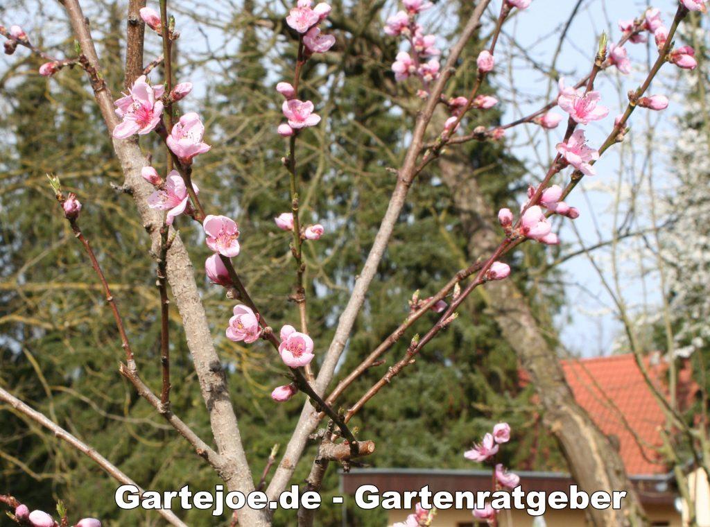 Pfirsichblüte im April