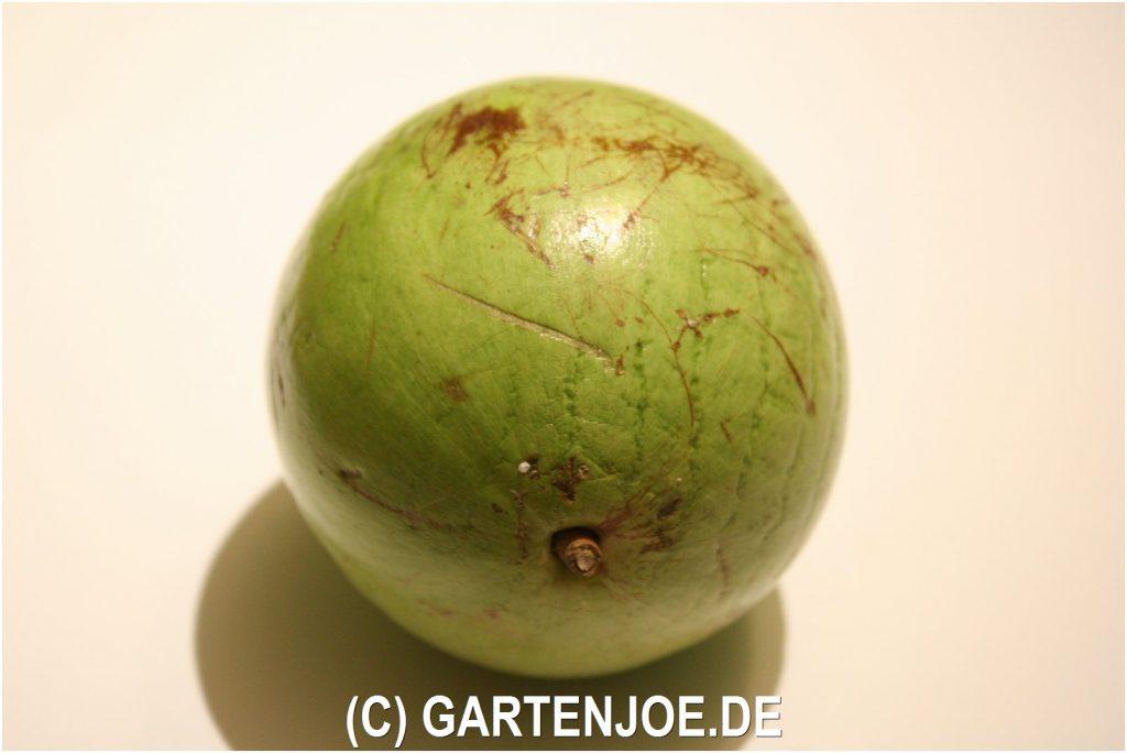 Sternapfel Chrysophyllum cainito Milchfrucht