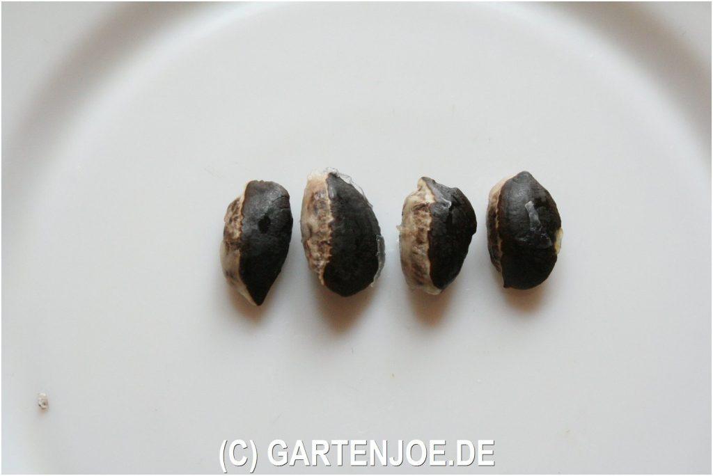 Sternapfel Chrysophyllum cainito die Milchfrucht oder vú sữa
