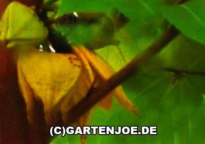 Stachelannone Blüte - Guanabana - Annona muricata