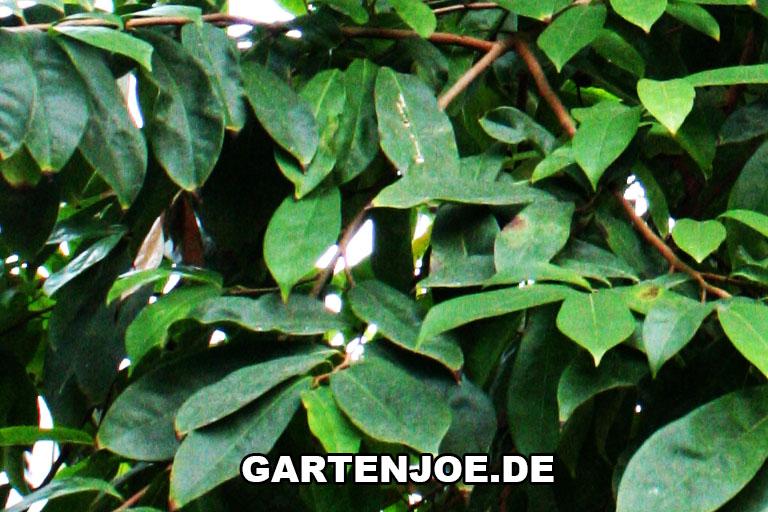 Graviola Blätter