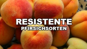 Resistente Pfirsichsorten