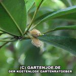Die Blüte der Sapotilla oder Manilkara zapota