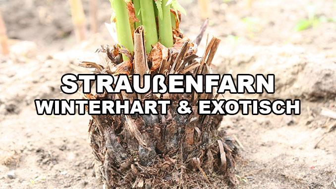 Stammbildender winterharter Farn Europäischer Baumfarn