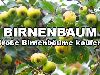 birnenbaum kaufen