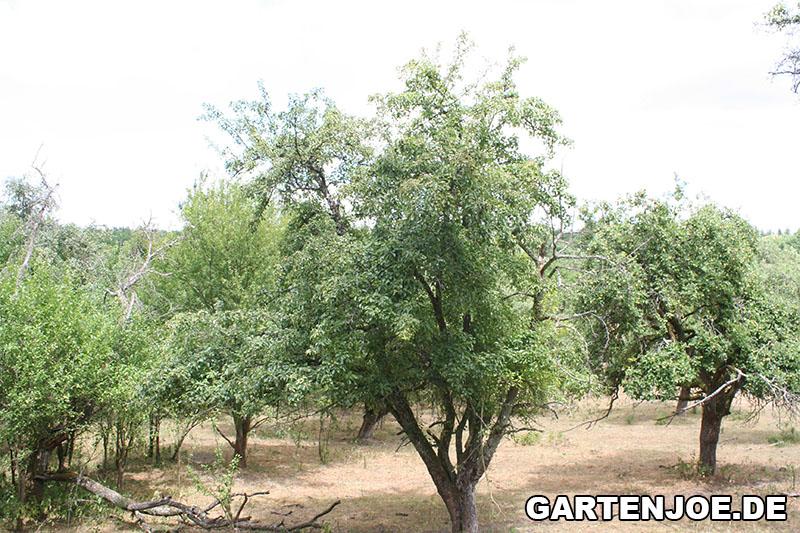 grosser birnenbaum