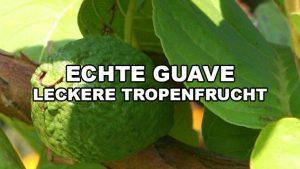 echte guave