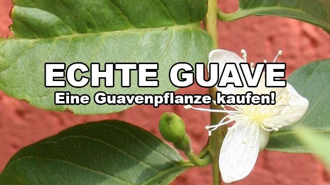 echte guave pflanze