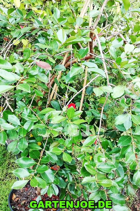 Erdbeer-guave