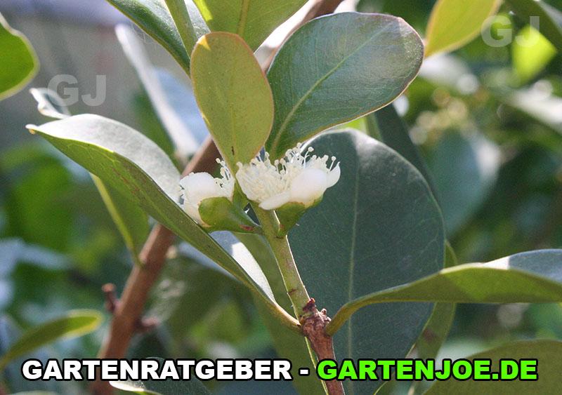 erdbeerguave blüte