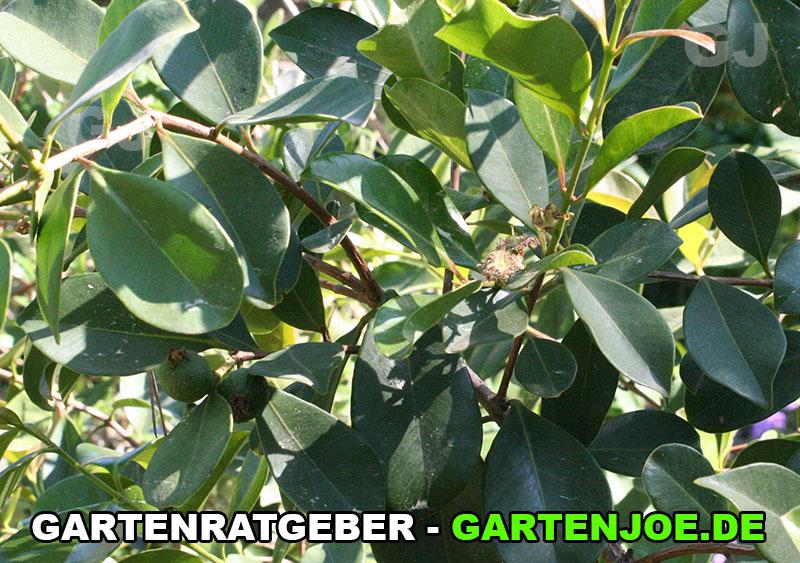 erdbeerguave pflanze