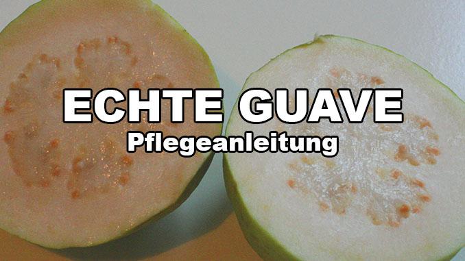 pflegeanleitung echte guave
