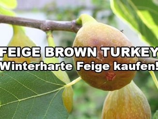 brown-turkey-feige