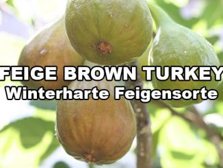 brown-turkey-feige-sorte