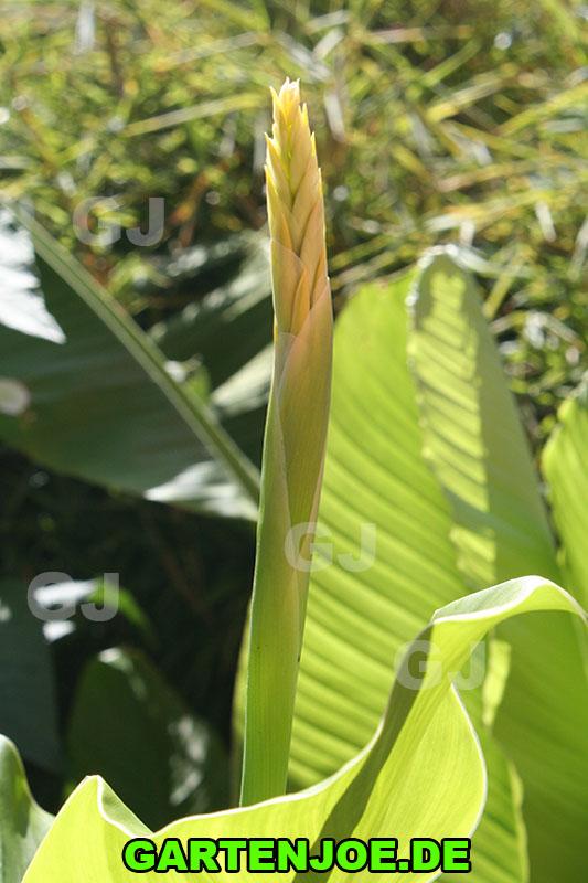 canna-indica-gelb