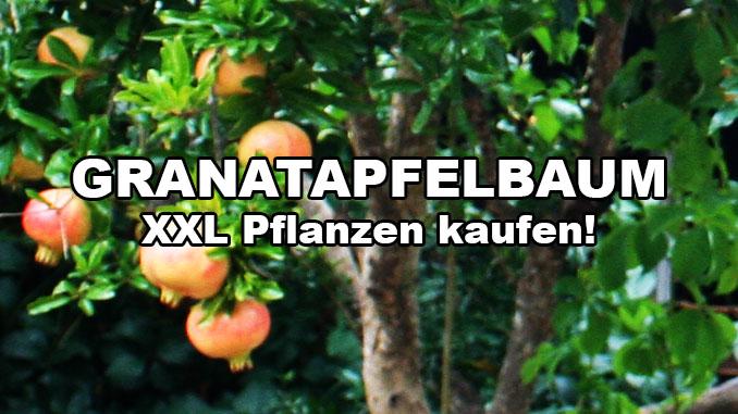 granatapfelbaum-gross