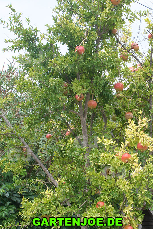 granatapfelbaum-im-garten