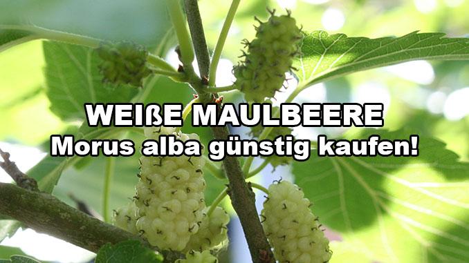 weisse maulbeere kaufen