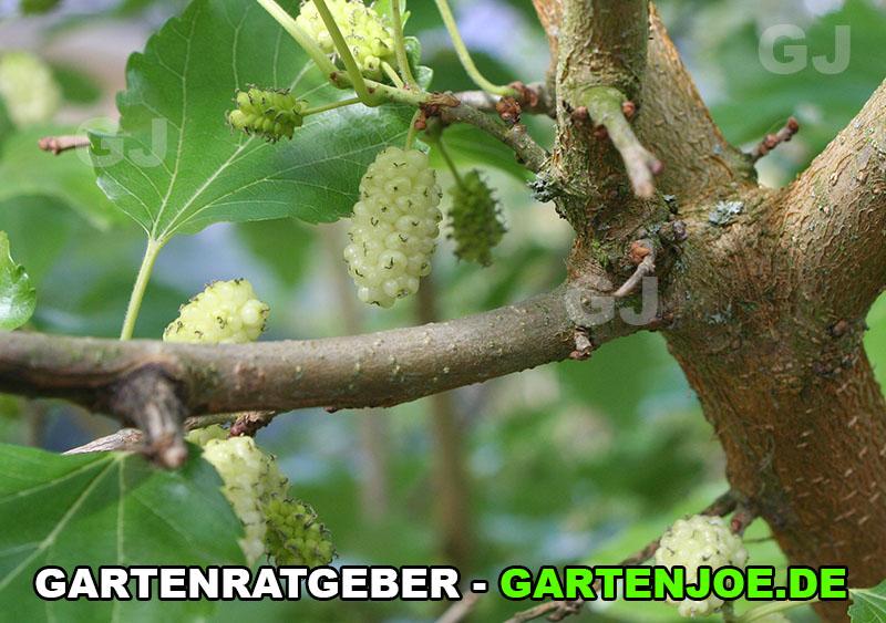 weisse maulbeere frucht
