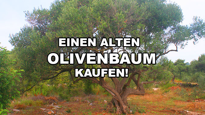 Alten Olivenbaum kaufen