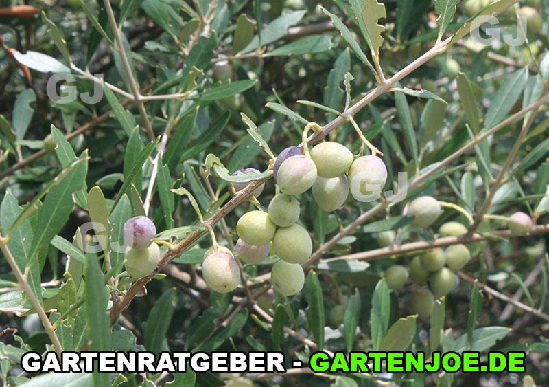 früchte olivenbaum