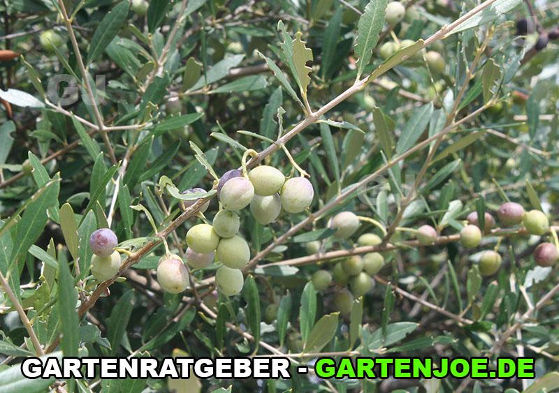 Olivenbaum Früchte