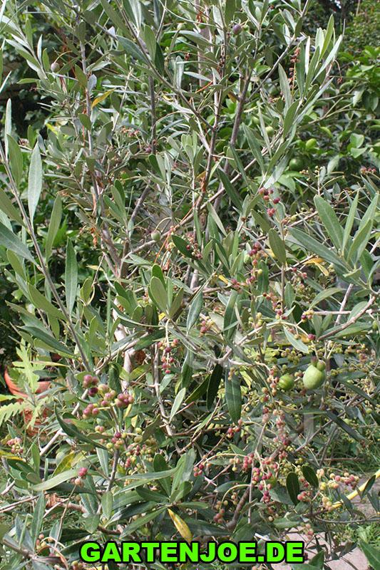 Olivenbaum mit Früchten