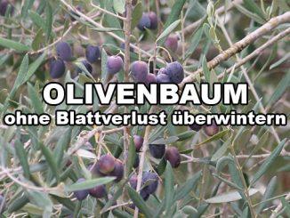 olivenbaum-ueberwintern