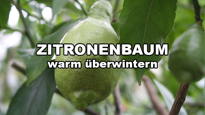 Zitronenbaum überwintern