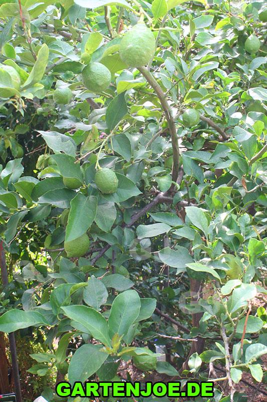 Zitronenbaum Überwinterung