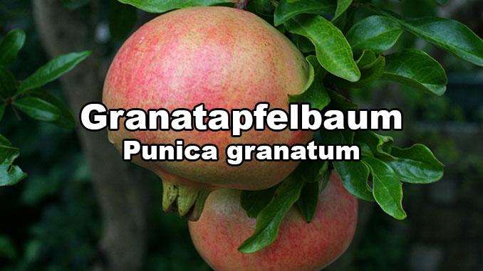 granatapfelbaum gartenratgeber kostenlos das gartenmagazin