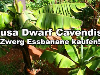 musa dwarf cavendish