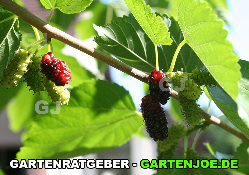 Rote Maulbeere