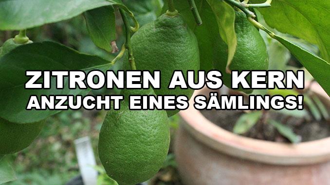 Zitrone aus Samen