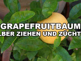 grapefruitbaum selber ziehen